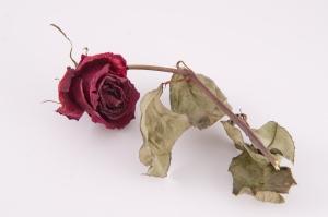wilt rose